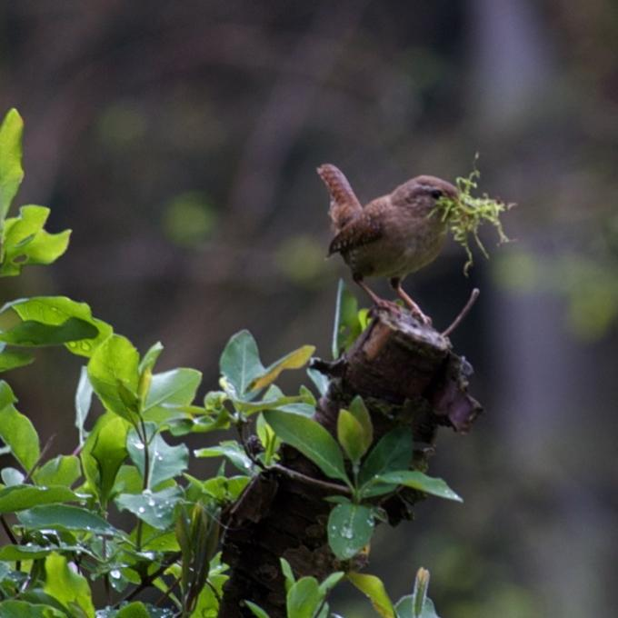Zaunkönig beim Nestbau